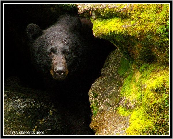 the background information of the black bears Document about black bears in new york as an information resource for use by black bear  it provides background information about black bears that.