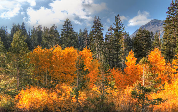 Aspen Trees on the way to Lake Tahoe...
