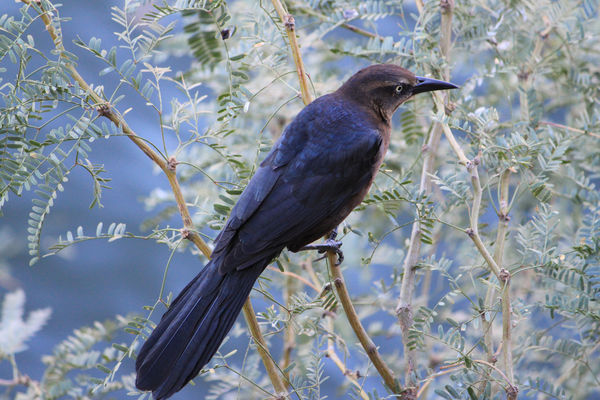 Magpie (?) at Canyon Lake, Arizona...