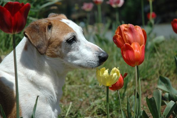 Garth in the Tulips...