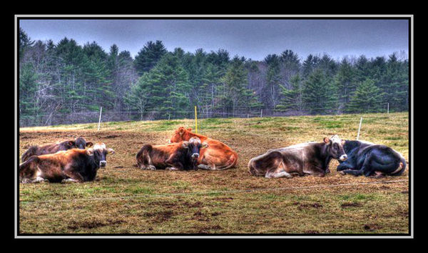 Resting Cows...