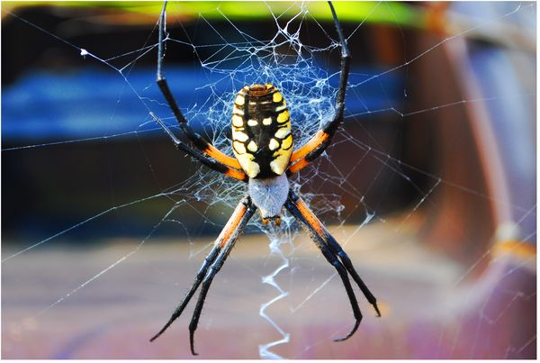 Banana spider in the states for What does a garden spider look like