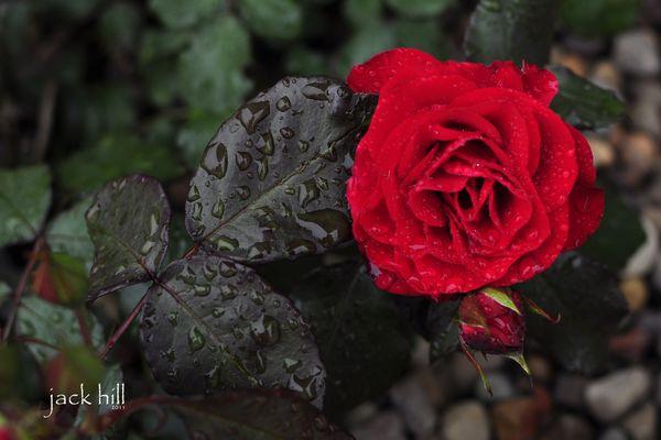 35mm Nikor prime  ISO 200  f3.2  1/1000 sec  petal...