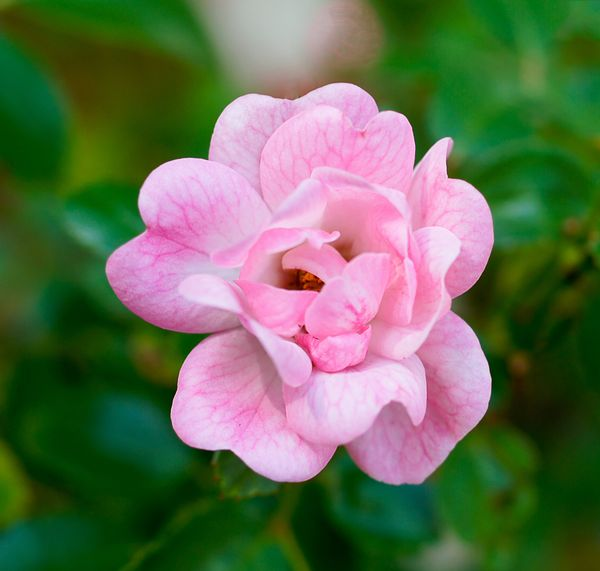 Fairy Rose.  IS) 100.  The bloom is about the size...