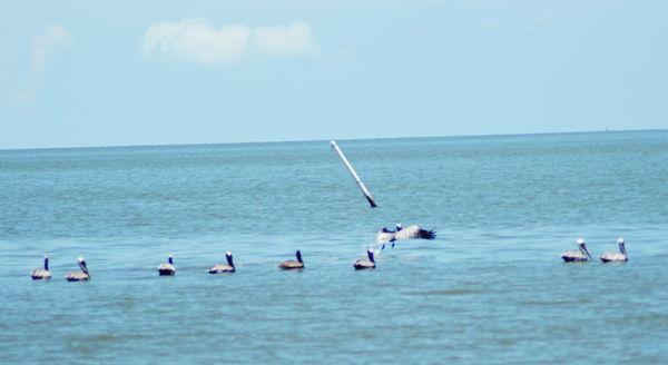 Pelicans in the wild...