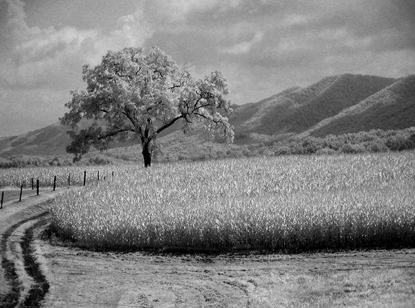 My favorite Black Walnut tree and corn...