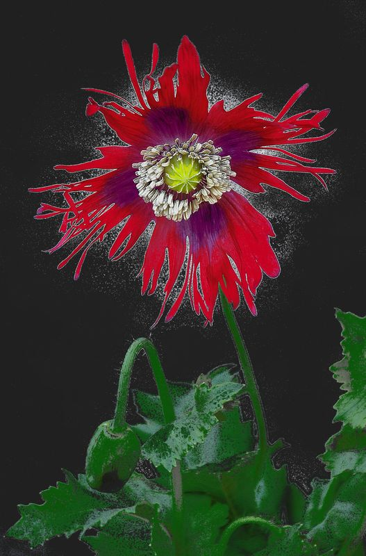 The Magical Poppy...