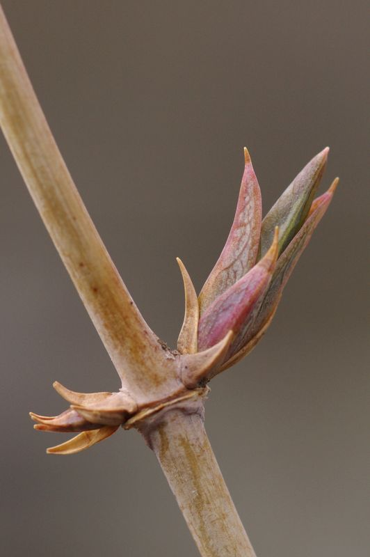 Honeysuckle bud opening because of the mild winter...
