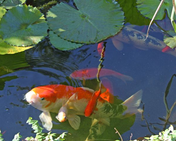 Koi pond for Koi pond water quality