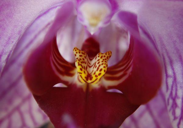 Orchid throat...