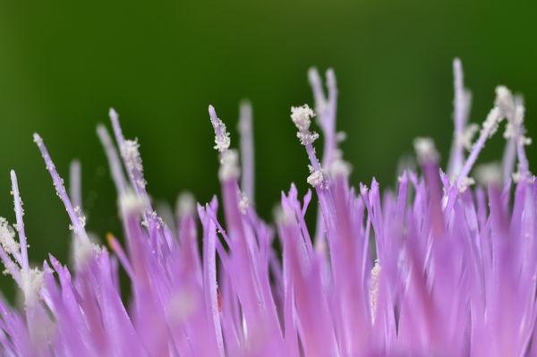 Mediterranian Thistle Stamen & Pollen, approx 4:1 ...