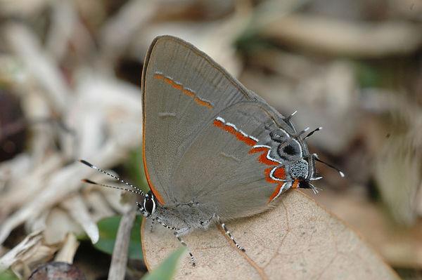 Dusky-blue Groundstreak (Calycopis isobeon)...