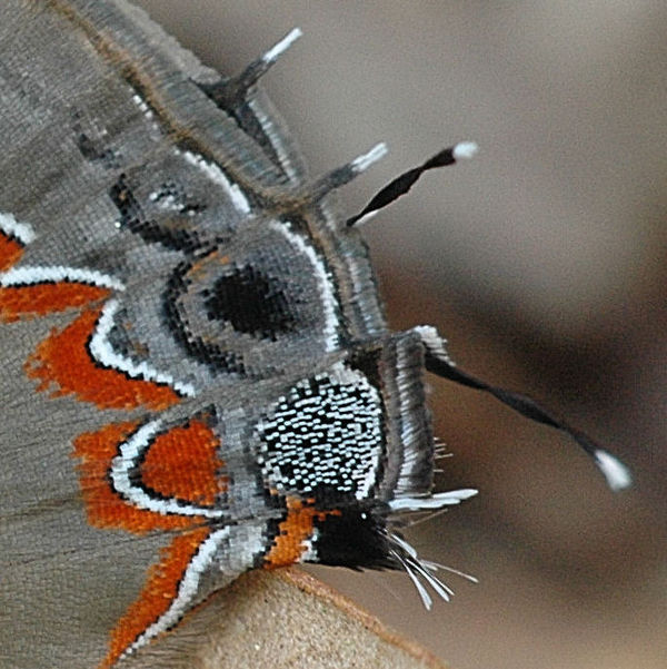 Detail of eyespots and tails of Dusky-blue Grounds...