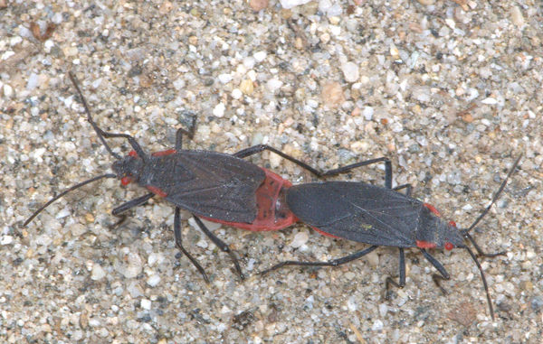 Red Shouldered bugs, mating pair...