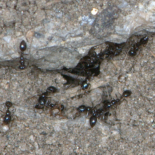 Minute Black Ants (Monomorium ergatogyna) = really...