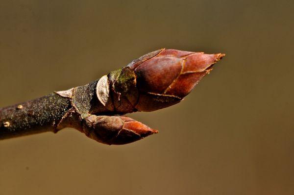 Maple buds...