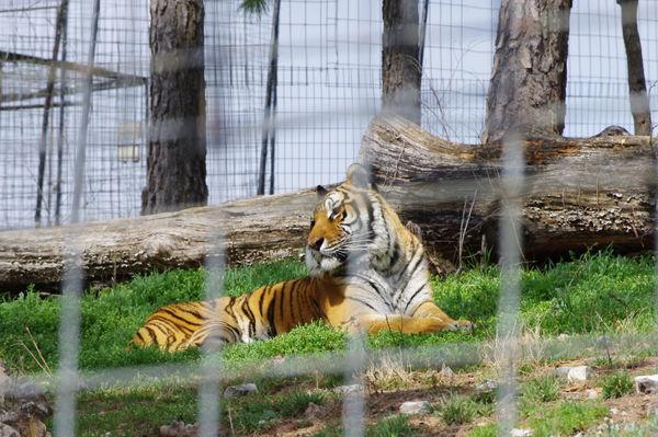 Tigers........