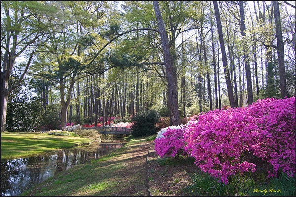 Azaleas In Full Bloom Callaway Gardens In Pine Mountain Ga
