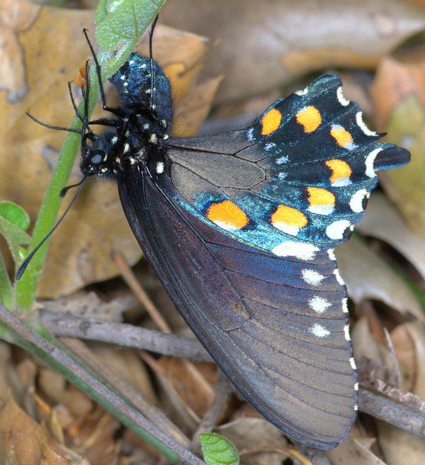 Female Pipevine Swallowtail laying a clutch of egg...