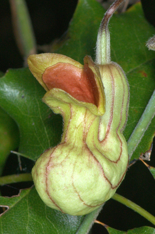 A not-yet-opened, immature bud of a Dutchman's Pip...