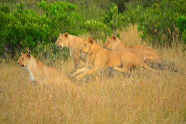 4 lions, F5.6, 1/80, ISO 320, 200mm...