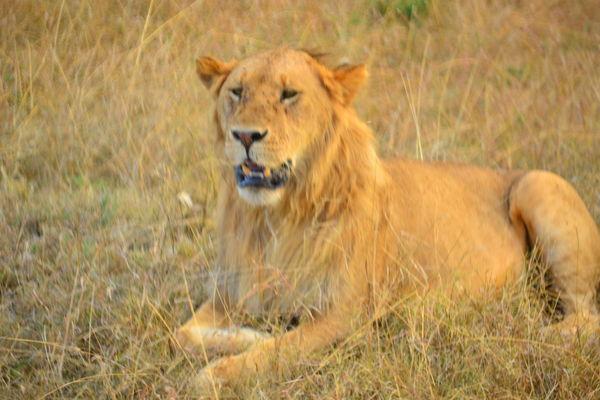 1 lion, F5.0, 1/80, ISO 360, 135mm...