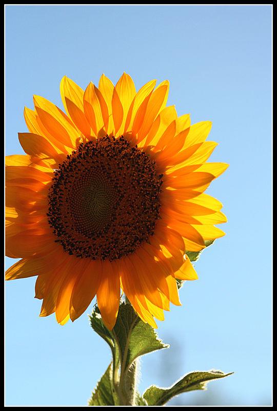 I found a sunflower farm ! who knew...