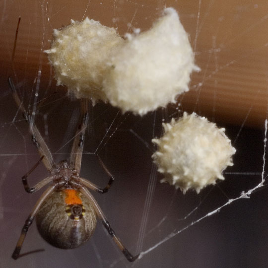 Black widow spider eggs - photo#9
