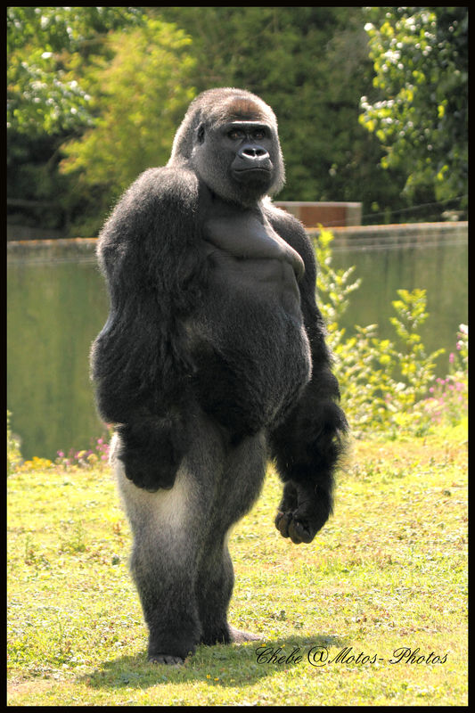 Gorilla standing up - photo#6
