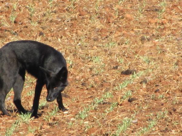 Coydog Nh: Coyote & Dog?????