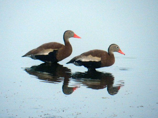 Whistling Ducks...