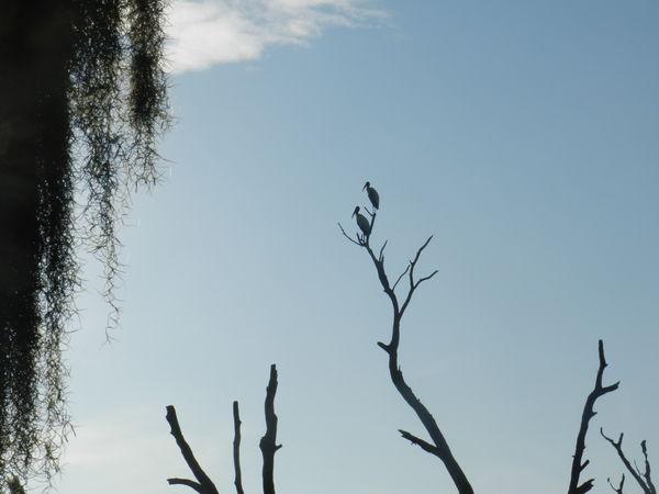 Wood Storks...