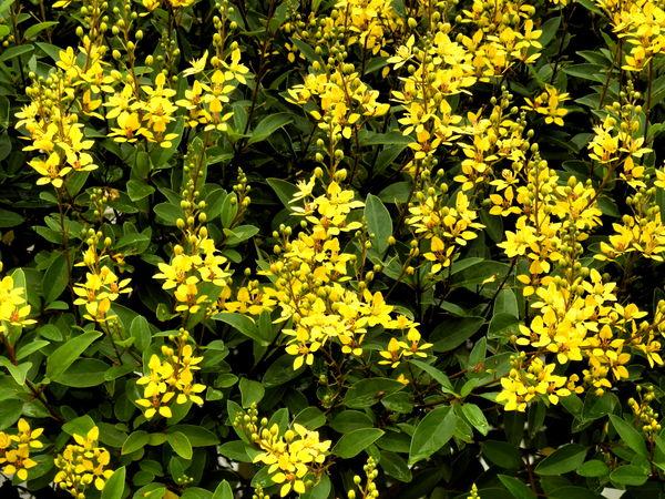 carolina jasmine series, Beautiful flower