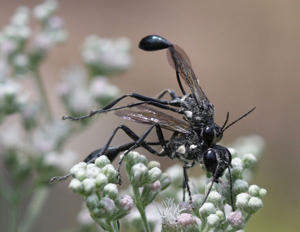 mating of the great black wasp
