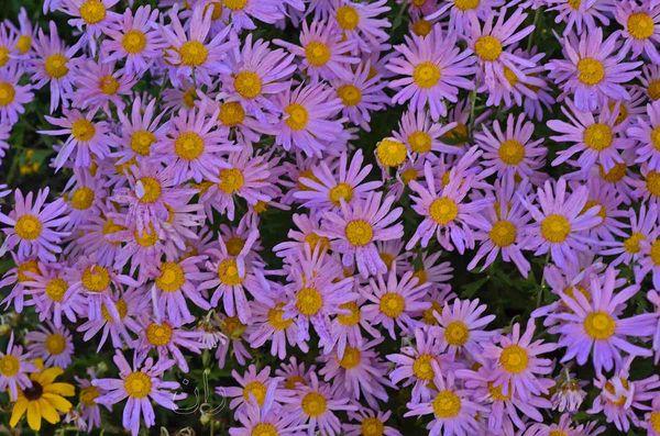 Pink daisies Where did daisies originate