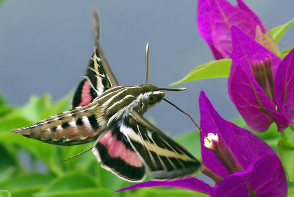 White lined sphinx moth - photo#14