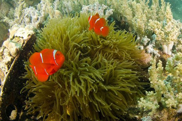 Tomato anemone fish...