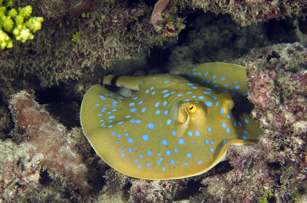 Blue spotted ray...