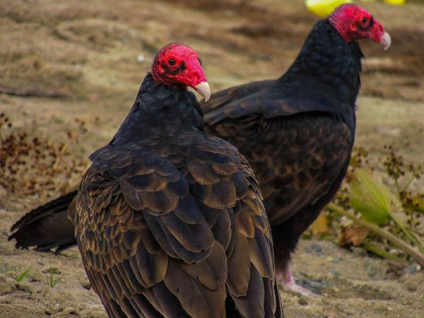 2 Redheads...