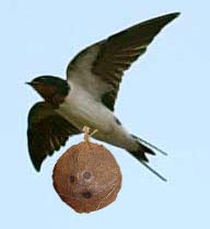 African Swallow coconut