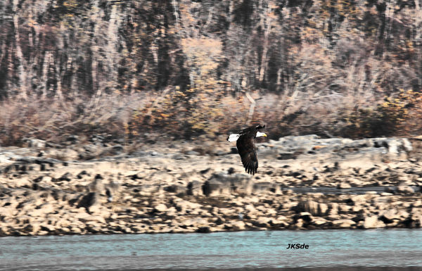 Eagles of the Dam...