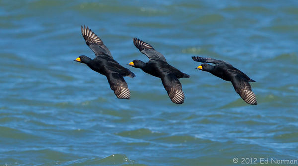 A trio of Black Scoters at Barnegat Inlet jetty......