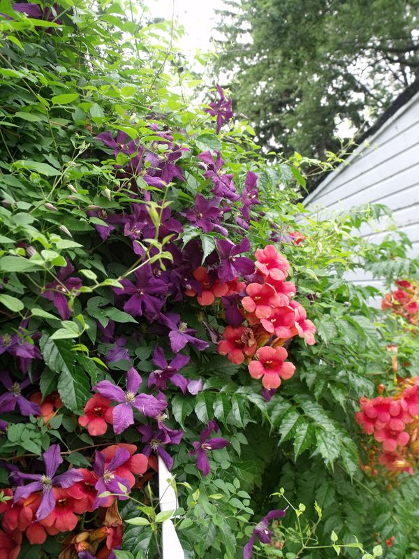 Trumpet vines and clematis over our fence