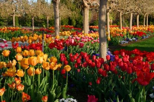 Tulip Festival Holland Michigan - Holland tulip festival