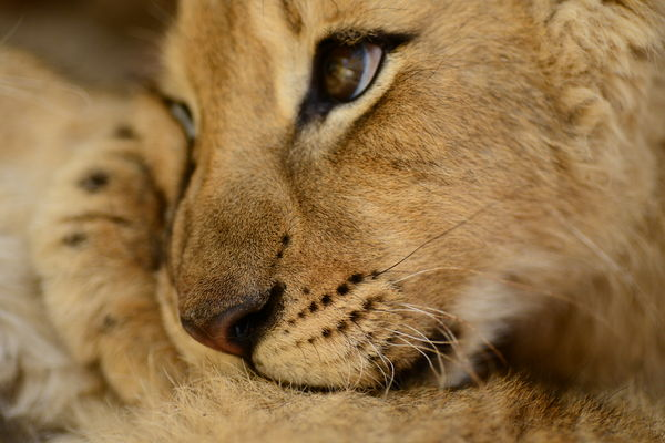 Cutest lion in the world - photo#18