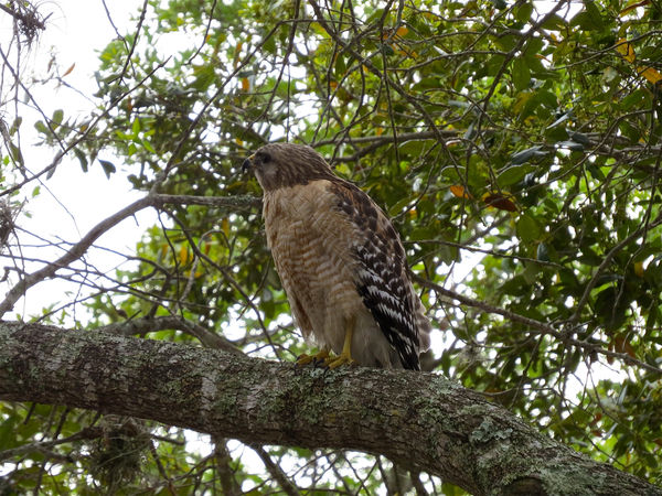 Red Shouldered Hawk...
