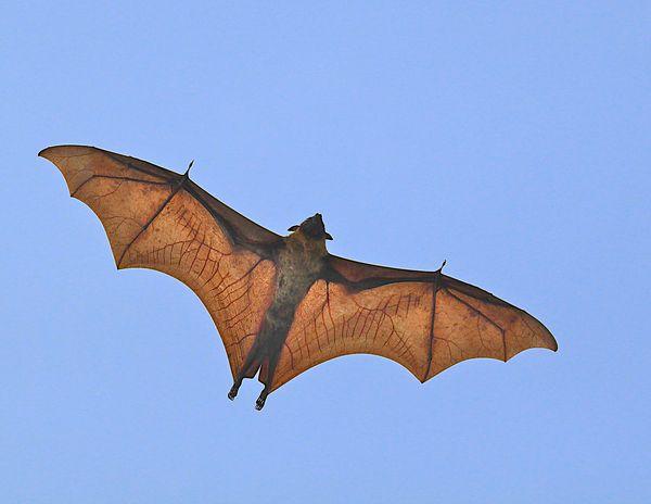 Giant Fruit Bat AKA Flying squirrel...