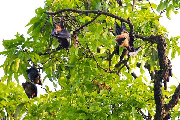Fruit Bat in tree aka flying foxes...