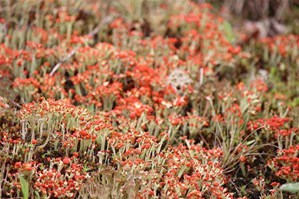 British Soldiers Lichen...