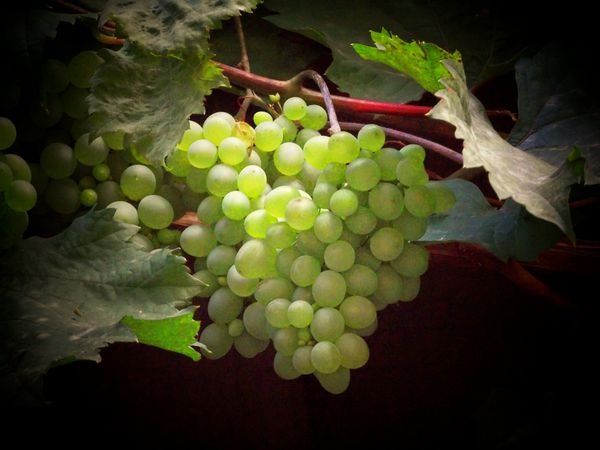 Vignetted grapes...